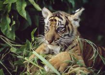 Estudios recientes indican que puede haber tan sólo 3.200 tigres (Panthera tigris) en su hábitat natural. Los tigres ocupan menos del 7% del territorio original, el cual ha disminuido un 40% durante los últimos 10 años.La acelerada deforestación y la