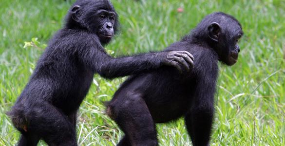 Los bonobos son, junto a los chimpancés, los parientes vivos más cercanos genéticamente a los seres humanos