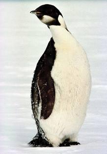 Peligra la existencia del pingüino emperador por el cambio climático