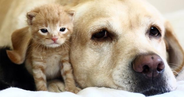 Un perro labrador con un gatito.
