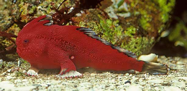 El 'pez rojo' es uno de los más amenazados por la degradación de su hábitat