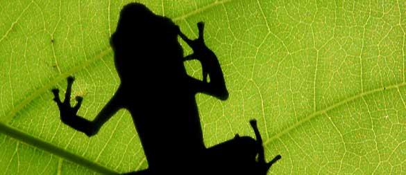 Uno de cada tres anfibios está en peligro de extinción