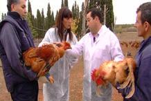 pollos-de-corral-y-capones