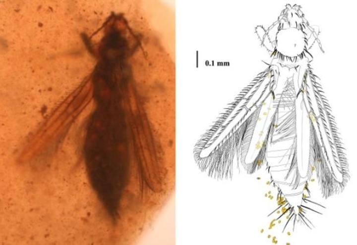 Un ejemplar de la especie Gymnopollisthrips maior con los granos de polen (pieza de ámbar de Álava)