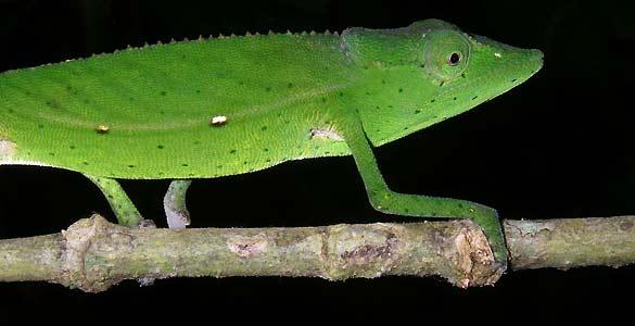 Un ejemplar de camaleón 'Calumna Gastrotaenia'