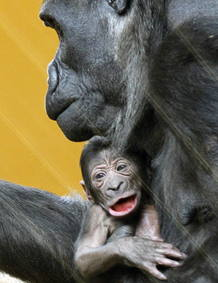 Primer plano de la cría de gorila nacida en el Parque de la Naturaleza de Cabárceno