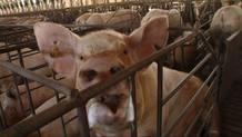 Los productores de porcino están nerviosos y enfadados con la nueva norma