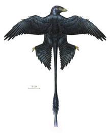 Los investigadores han descubierto que su cola era puramente ornamental, y no les ayudaba a volar como sugerían antiguas investigaciones