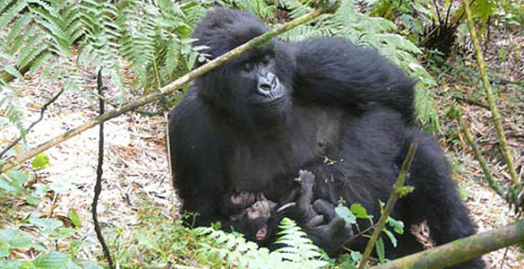 Es el quinto nacimiento de gorilas gemelos registrado hasta la fecha