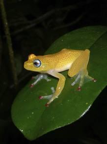 Rana 'Boophis erythrodactylus'
