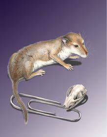 Recreación artística del 'Hadrocodium', uno de los pre mamíferos analizados