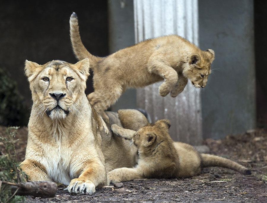 El salto del león