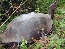 Las tortugas de Galápagos son famosas por la influencia en las teorías de la evolución de Charles Darwin