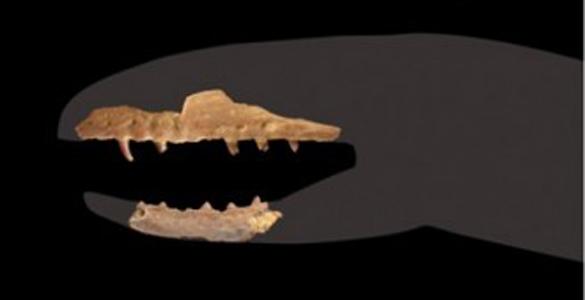 Fragmentos dentales de un individuo Coniophis precedns, considerado un reptil de transición entre los reptiles con patas y las serpientes.