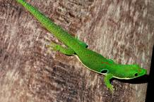 Madagascar es uno de los lugares donde los lagartos se están extinguiendo más rápidamente. En la foto un ejemplar de la familia de las salamanquesas.