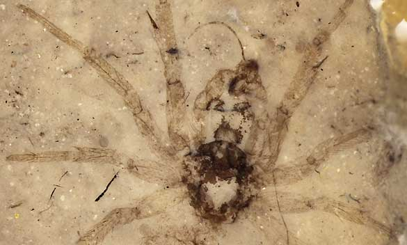 La araña fosilizada del Jurásico medio