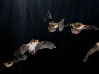 Ver vídeo  'Los 'súper músculos' de los murciélagos les facilitan la localización de sus presas'