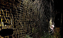 Una telaraña gigante dorada de más de 1 metro de diámetro tejida por una 'Nephila'