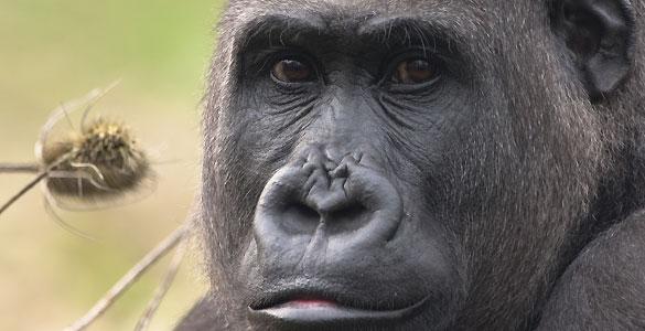 En un tercio del genoma humano se pueden apreciar más parecidos con el gorila que con el chimpancé.