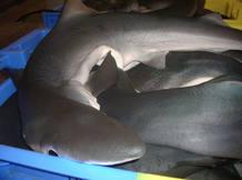 Tiburones azules ('Prionace glauca') almacenados en cajas en la lonja francesa de Lorient