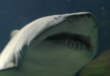 Tiburón del Oceanográfico de Valencia