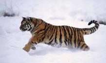 Un tigre siberiano criado en semilibertad
