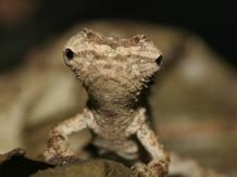Estos animales han podido evolucionar de un antepasado también pequeño de Madagascar, diferente a los habituales camaleones grandes y coloridos