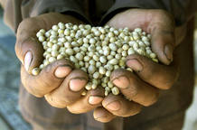 Un granjero rumano muestra granos de soja transgénicos.