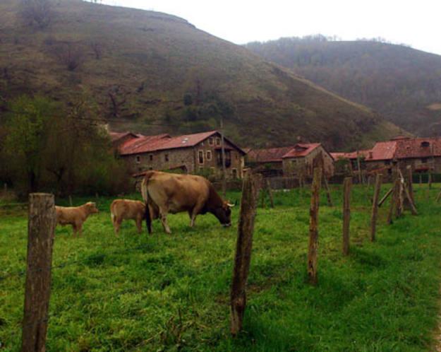 Los Tojos - Vacas pastando en el prado