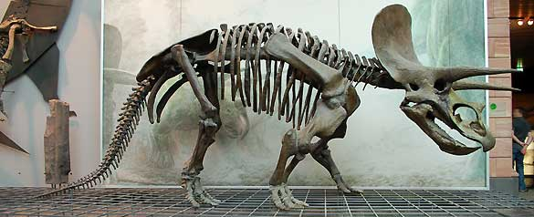 Un esqueleto de Triceratops conservado en el museo Senckenberg en Frankfurt