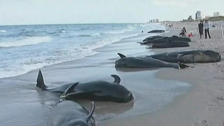 Una veintena de ballenas piloto llegan a una playa de Florida