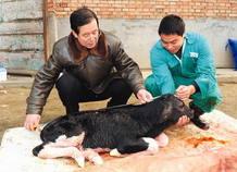 Los científicos chinos han introducido genes humanos en el ADN de frisonas, las típicas vacas blancas con manchas negras.