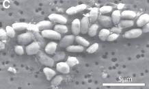 Los investigadores Instituto de Astrobiología de la NASA encontraron a la bacteria de la familia Halomonadaceae en las aguas tóxicas y salobres del Lago Mono, en California.