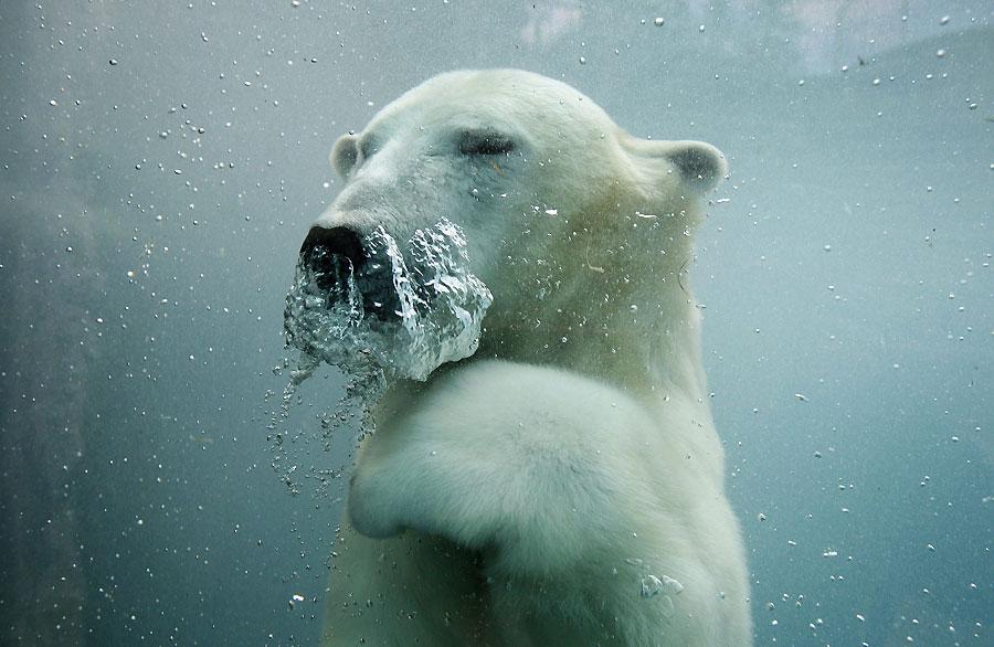 La zambullida del oso