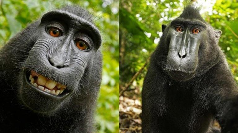 El 'selfie' de un mono crea polémica: ¿de quién es la foto ...